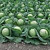ЛЕМА F1 - семена капусты белокочанной, 1 000 семян, Rijk Zwaan