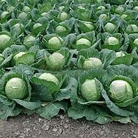 ЛЕМА F1 - семена капусты белокочанной, 1 000 семян, Rijk Zwaan, фото 1