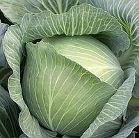 МУКСУМА F1 - семена капусты белокочанной, 1 000 семян, Rijk Zwaan, фото 1
