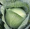 МУКСУМА F1 - семена капусты белокочанной калиброванные, 1 000 семян, Rijk Zwaan