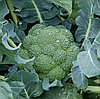 РЕГГИ F1 - семена капусты брокколи калиброванные, 1 000 семян, Rijk Zwaan