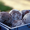 РОДИМА F1 - семена капусты краснокочанной, 1 000 семян, Rijk Zwaan