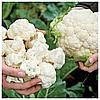 ЦЕРСИ F1 - семена капусты цветной, 1 000 семян, Rijk Zwaan