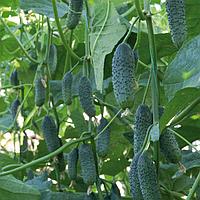 ДЕРЬЯ F1 - насіння огірка партенокарпічного, 500 насіння, Enza Zaden, фото 1