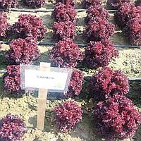 КАРМЕЗИ - семена салата тип Лолла Росса дражированные, 1 000 семян, Rijk Zwaan, фото 1