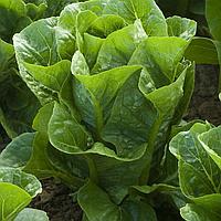 РАФАЭЛ - семена салата тип Ромэн дражированные, 1 000 семян, Rijk Zwaan, фото 1