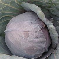 КІОТО F1 - насіння капусти червоноголової, 2 500 насіння, Kitano Seeds, фото 1