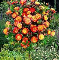 "Троянда на штамбі ""High Society"""