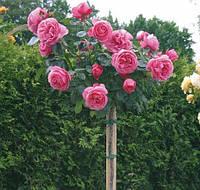 """Троянда на штамбі """"Леонардо да Вінчі"""""""