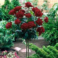 "Троянда на штамбі ""Блек Баккара"""