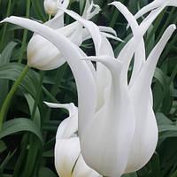 Луковичные растения Тюльпан White Star  (лилиевидний)