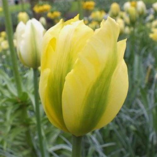 Цибулинні рослини Тюльпан Formosa (зеленоцв)