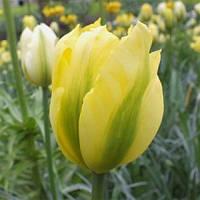 Цибулинні рослини Тюльпан Formosa (зеленоцв), фото 1
