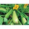 Семена кабачка Каризма F1, Syngenta (Нидерланды), 2500 семян