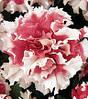 Петуния Крупноцветковая махровая Фараон Ред Пикоте 100с