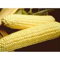 Семена кукурузы сладкой (сахарной) Спирит F1, Syngenta (Нидерланды), упаковка 1 кг