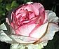 Роза Оноре де Бальзак, фото 3