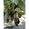 Семена баклажана раннего Дестан F1, Enza Zaden (Нидерланды), 10 г