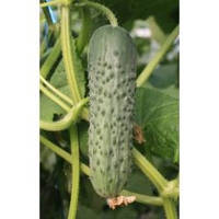 Семена огурца партенокарпического Седрик F1, Enza Zaden (Нидерланды), 1000 семян