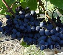 Гала (гроздь 1-2кг,ягода крупая,кисло-сладкая,-21)