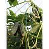 Семена огурца партенокарпического Туми F1, Enza Zaden (Нидерланды), 500 семян