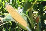 Семена кукурузы сахарной Санрайз F1, Agri Saaten (Германия), 5000 семян