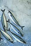 Обладнання для переробки червоної риби Pisces, фото 4