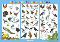Плакат. Свійські та дикі птахи