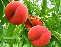 Плодовые деревья инжирный персик Сатурн