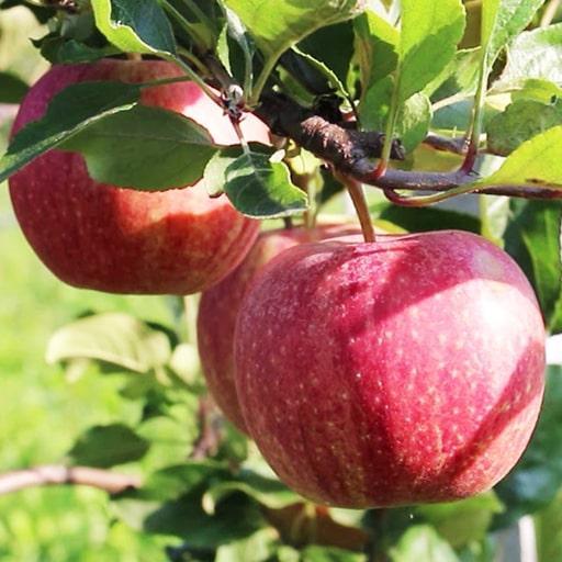 """Саджанці яблуні """"Роял Гала"""" (підщепа ММ109)"""
