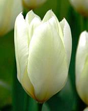 Тюльпан Purissima (Пуриссима) Фостера 3 луковицы