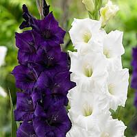Black Velvet  крупноцветковый