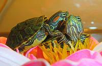 """КРАСНОУХИЕ ЧЕРЕПАХИ! ДОСТАВКА В ЛЮБУЮ ТОЧКУ КИЕВА! ТЕЛ. 063 139 48 58  АКЦИЯ!!! Корм """"Turtle menu"""" в подарок"""