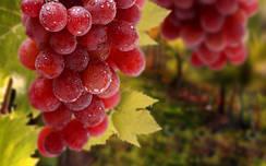 Розовые и синие сорта винограда