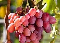 Винограда Анюта(средний)