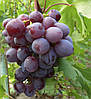 Виноград НиЗина (ранний)