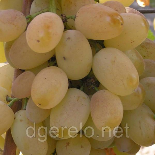 Виноград Лора - ранний сорт