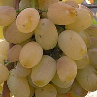 Виноград Лора (ранний)