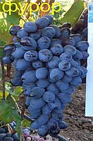 Саженцы винограда Фурор (ранний)