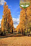 Populus nigra 'Italica', Тополя чорна 'Італіка',200-250см,BR - голий корінь, фото 5