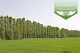 Populus nigra 'Italica', Тополя чорна 'Італіка',200-250см,BR - голий корінь, фото 6