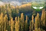 Populus nigra 'Italica', Тополя чорна 'Італіка',200-250см,BR - голий корінь, фото 8