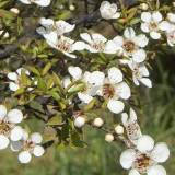 Органический экстракт чайного дерева 30 мл