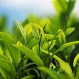 Органический экстракт чая зеленого 30 мл