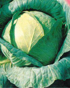 Насіння капусти Амагер (Україна), фото 2