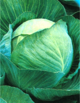 Семена капусты Дитмаршер Фрюер (Имп)