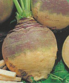 Семена Брюквы