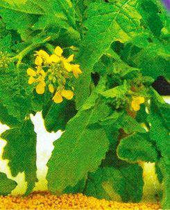 Насіння горцицы Салатною, фото 2