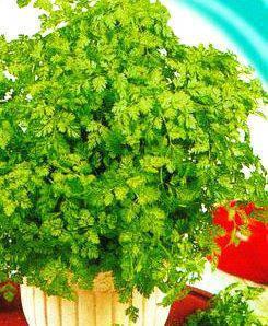Семена кервеля, фото 2