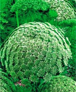Аммі Мрія флориста, фото 2
